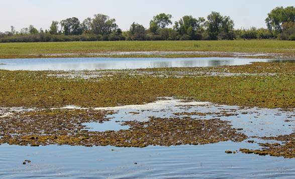 Figure 4.2 Salvinia (foreground) at the edges of the Yellow Water Wetlands